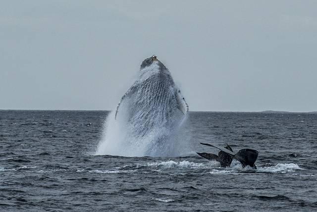 I. McAllister breaching humpback